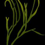 Meeresspaghetti skizziert